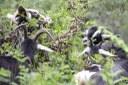 El Lluçanès consolida el projecte 'Boscos de Pastura'