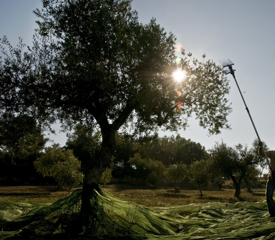 Collita manual d'olives per a oli verge extra (Consorci Garrigues per al Desenvolupament  del Territori).