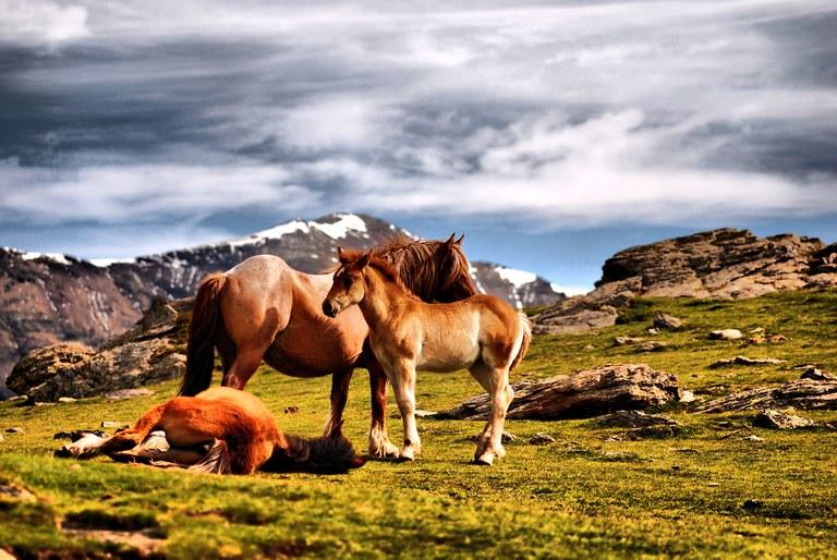 Raça Autòctona: Cavall Pirinenc Català (Consorci Ripollès Desenvolupament)Pirinenc Català.jpg
