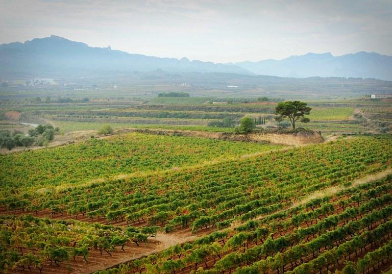 Camps de vinya (Consorci Intercomarcal d'Iniciatives Socioeconòmiques)