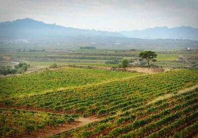 Camps de vinya (Consorci Intercomarcal d'Iniciatives Socioeconòmiques).