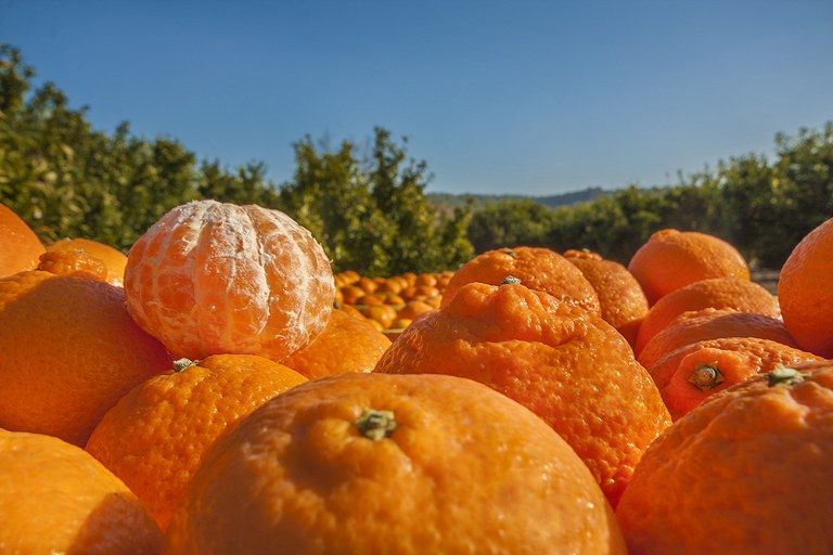 Collita de clementines. Bítem, Baix Ebre (Consorci per al Desenvolupament del Baix Ebre i Montsià)