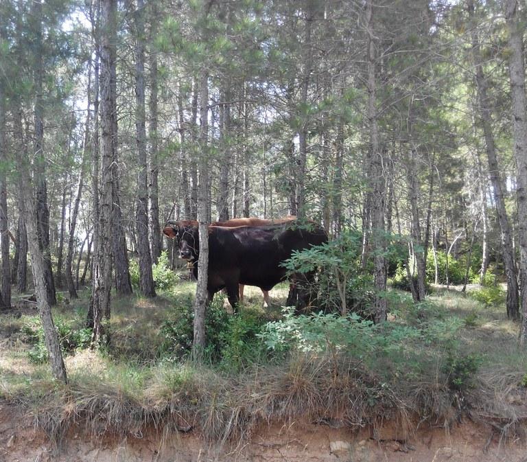 Gestió forestal a través de la silvopastura en una finca del Solsonès (Eduard Paredes Victori)