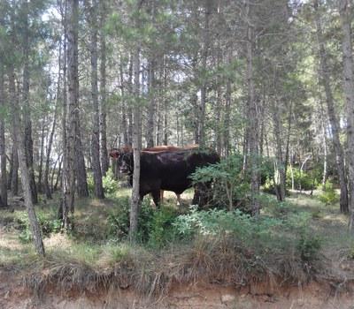 Gestió forestal a través de la silvopastura en una finca del Solsonès (Eduard Paredes Victori).