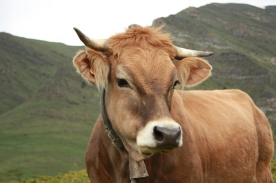 Vaca dels Pirineus (Gerard Castellarnau).